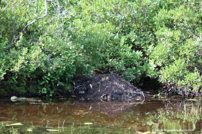 c-beaver scent mound