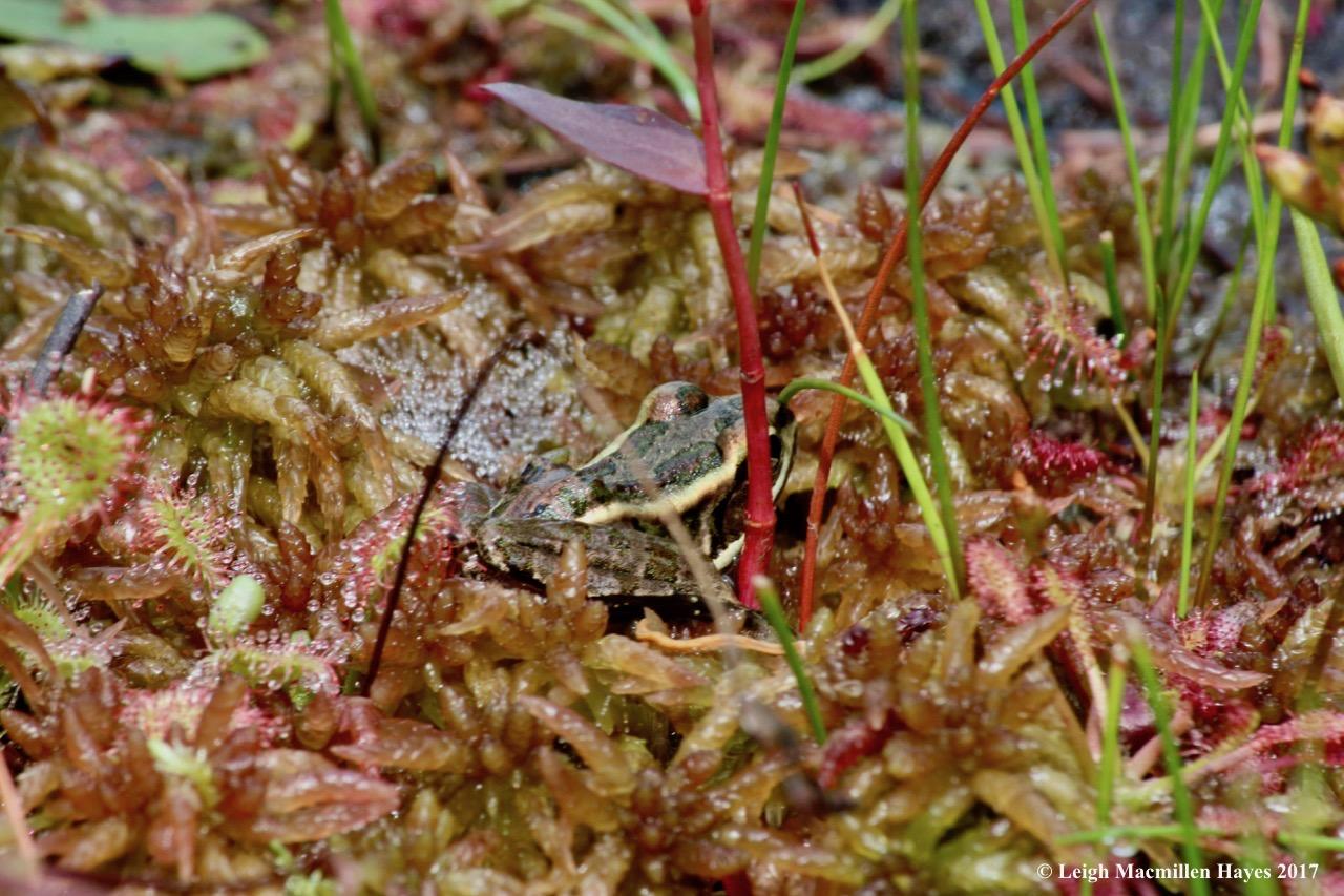 c-pickerel frog 1