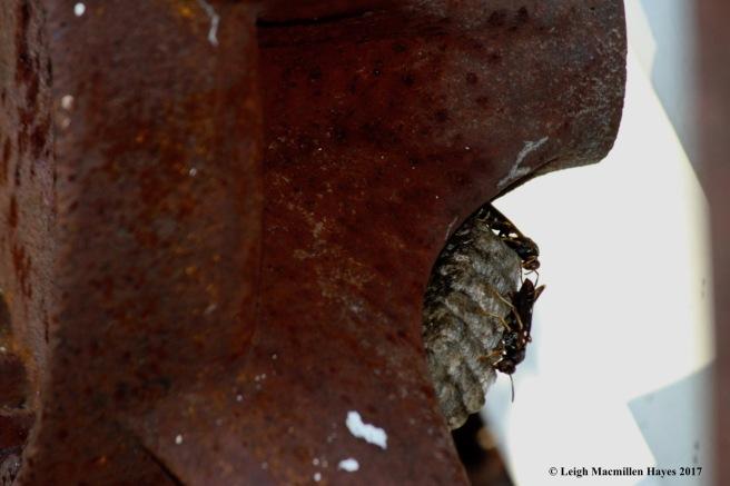 h-hornets 10