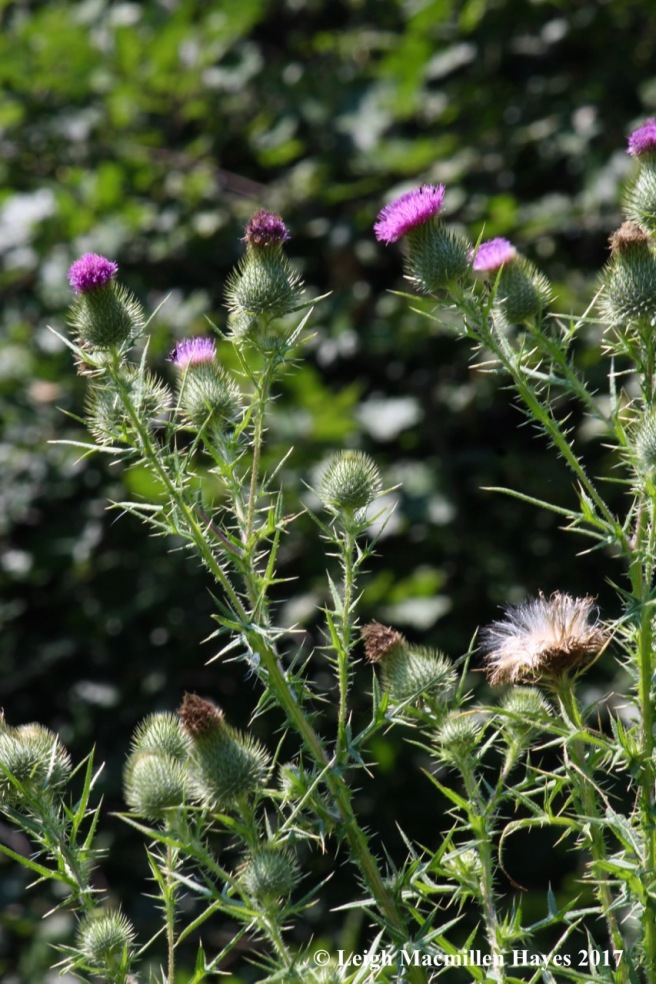 h-thistles in all forms