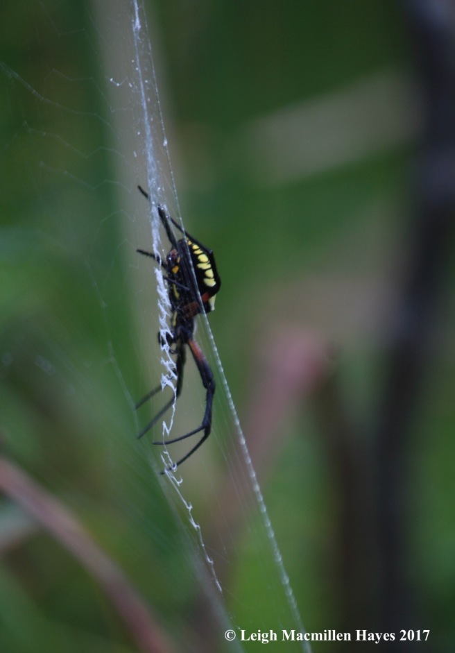 l1-garden spider 1