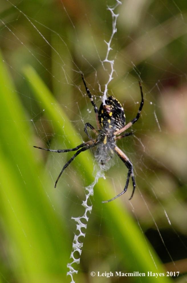 l1-garden spider 2