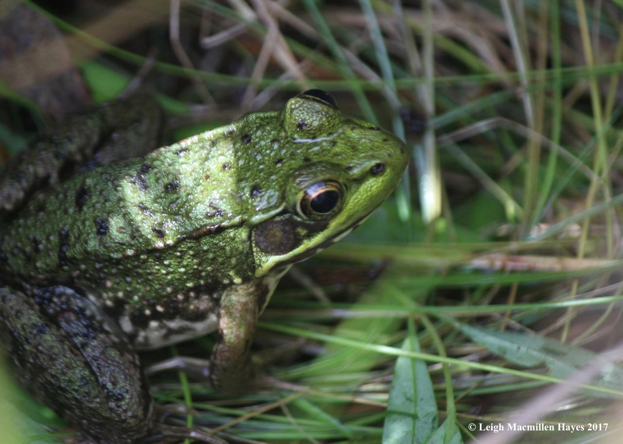 l1-green frog