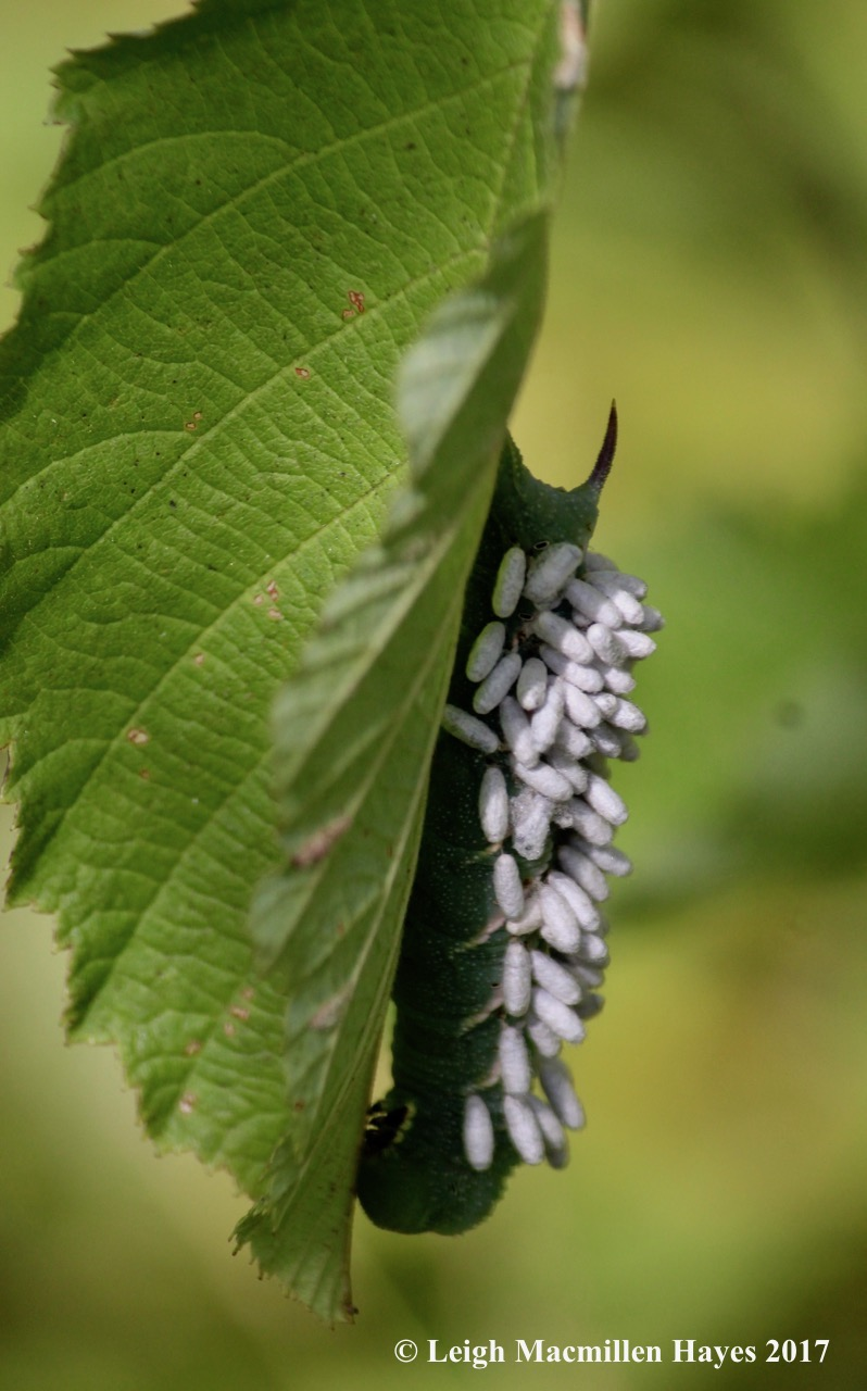 l1-wasp pupa on hornworm 1
