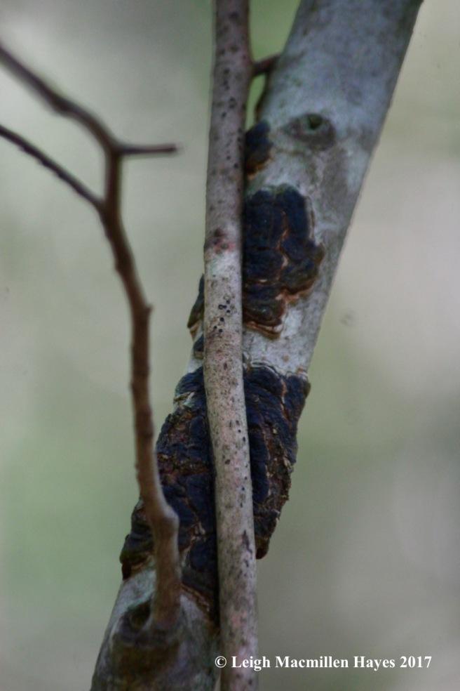 l2-glue crust fungus