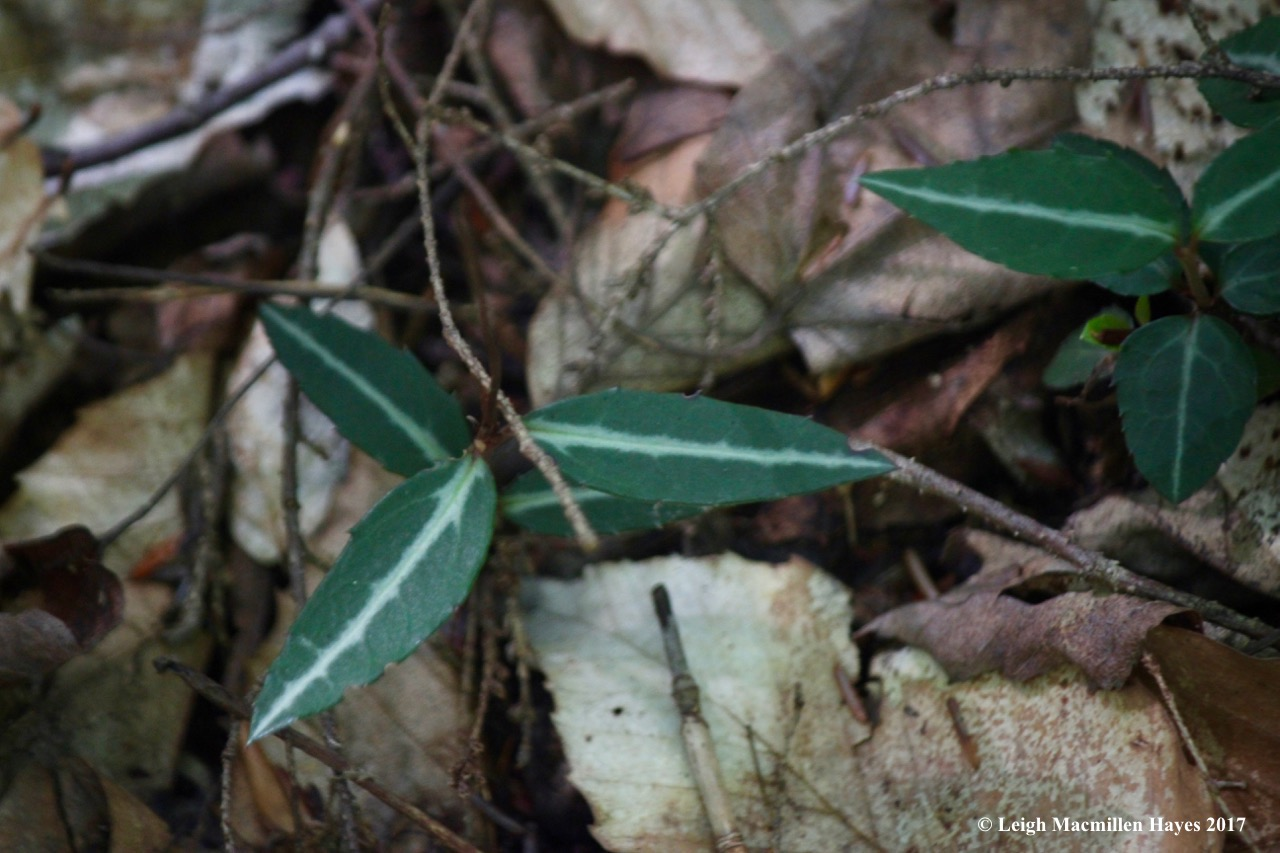 l2-spotted wintergreen