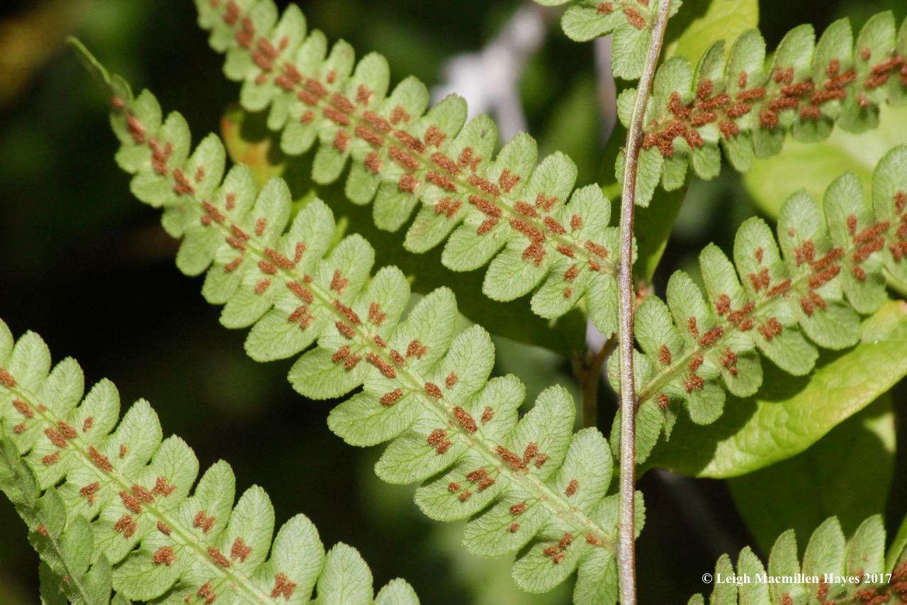 l3-chain fern