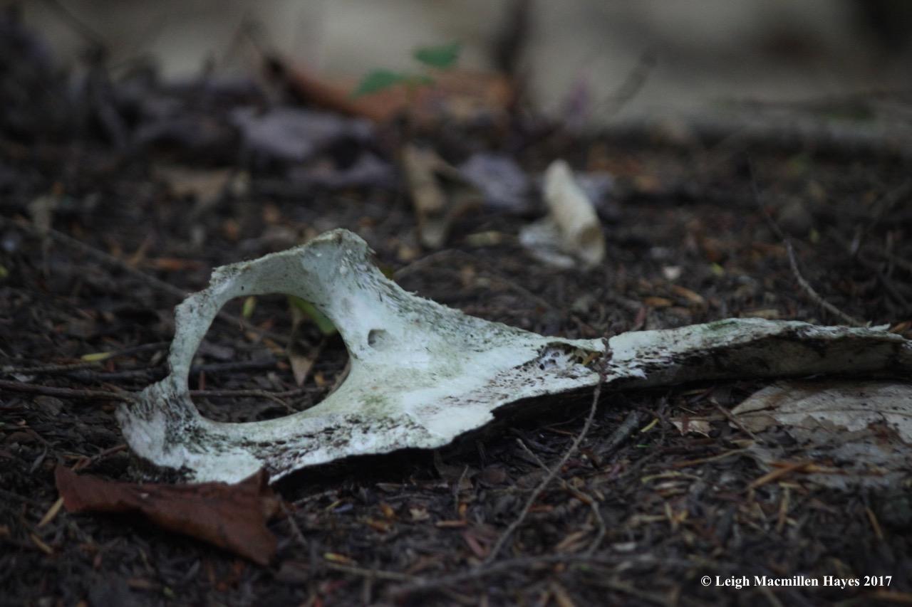 l4-deer skull