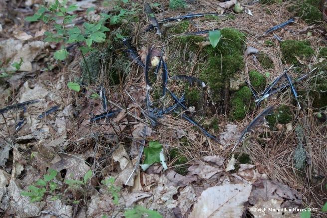 o-blue jay feathers on stump
