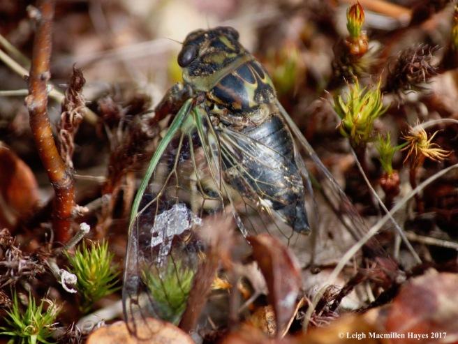 o-cicada