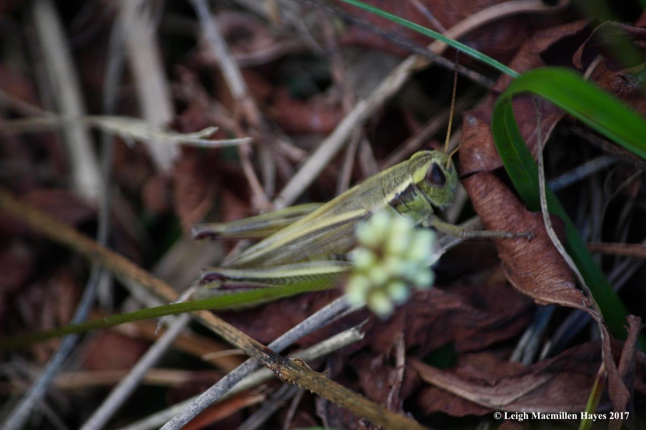 o-grasshopper