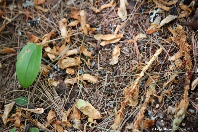 o-green cone midden