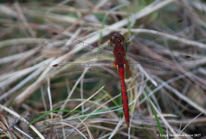 o-meadowhawk above