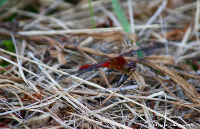 o-meadowhawk face