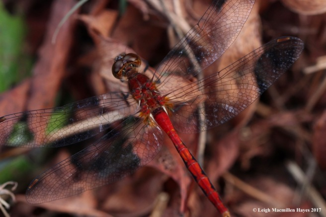 o-meadowhawk up close