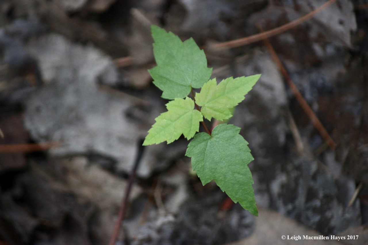 o-red maple cotyledon