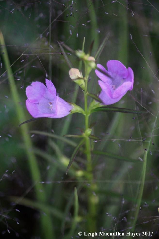 o-small-flowered gerardia
