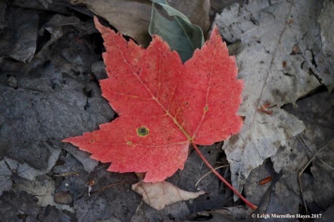 o-vp, red leaf