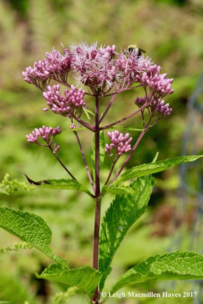 w-bumblebee on Joe Pye Weed
