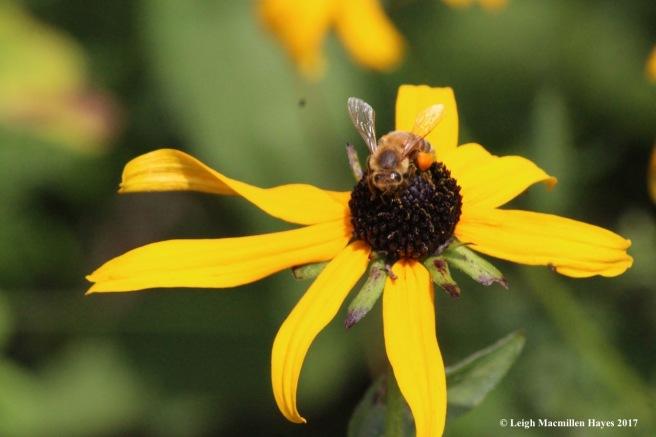 w-honey bee 1