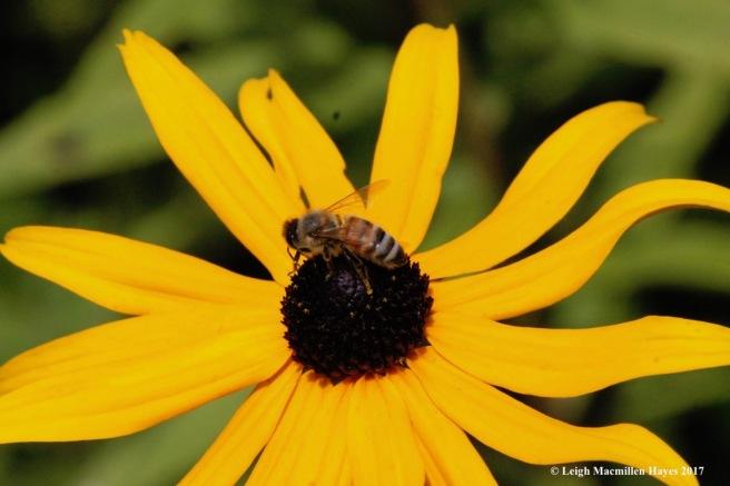 w-honey bee 2
