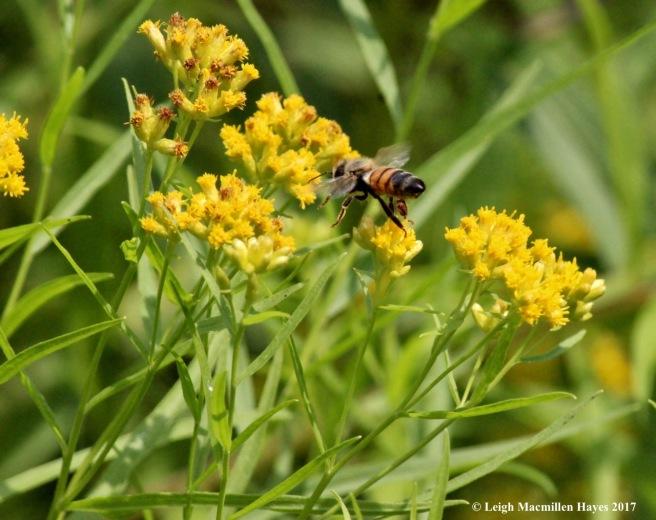 w-honeybee on the move