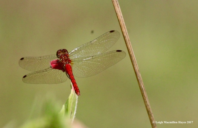 w-male meadowhawk