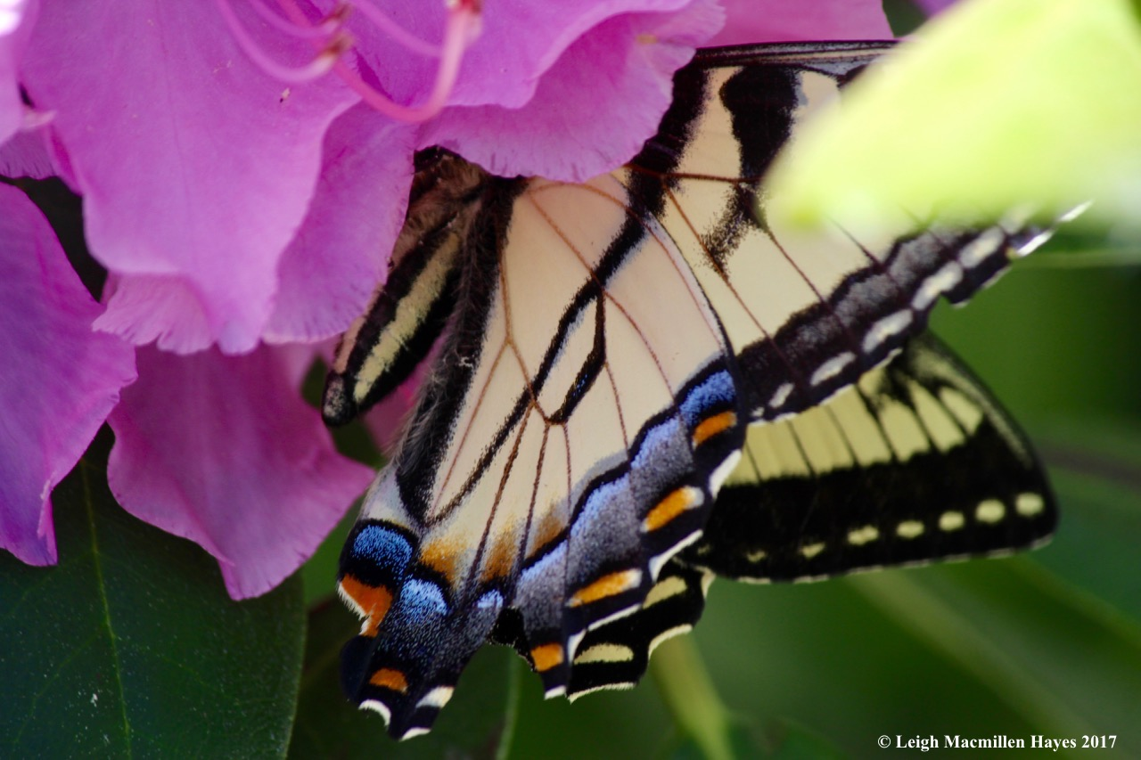 b-Canada tiger swallowtail 1
