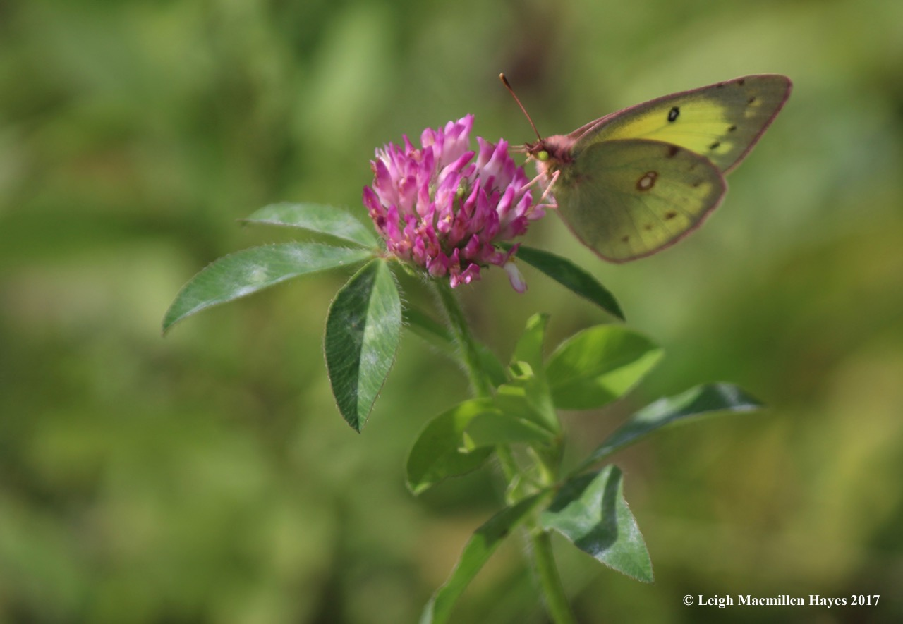 b-clouded sulphur 1