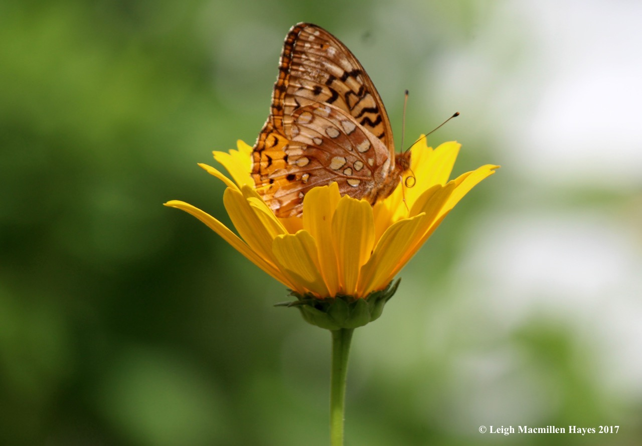 b-fritillary probiscus