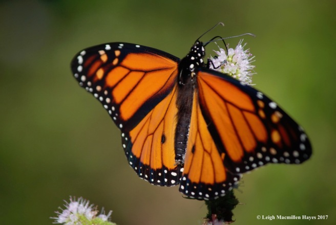 b-monarch 1