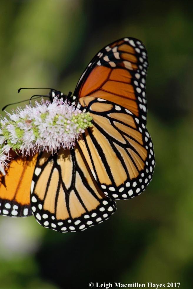b-monarch 2