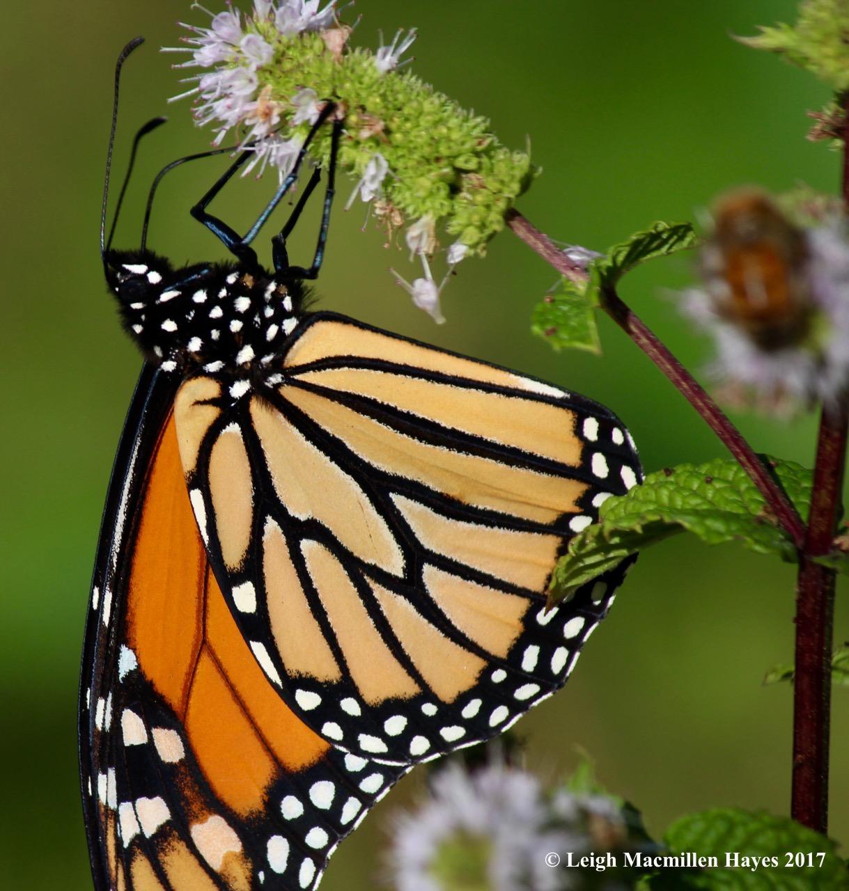 b-monarch 6