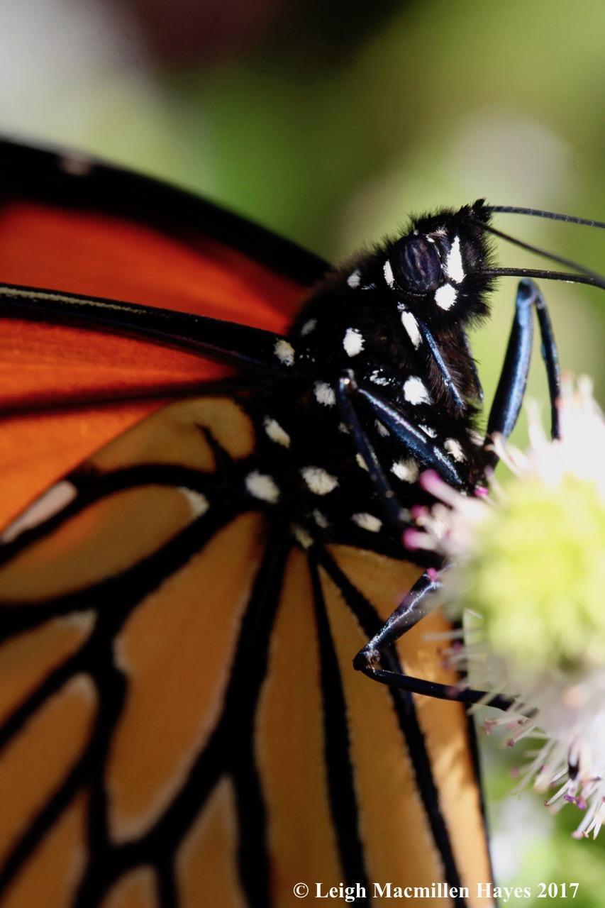 b-monarch eyes