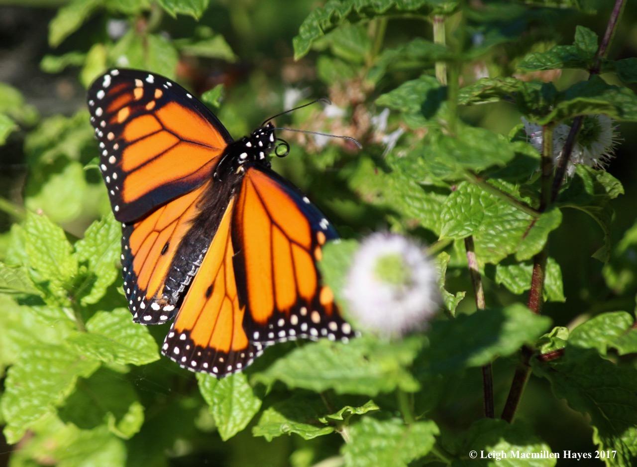 b-monarch probiscus 1