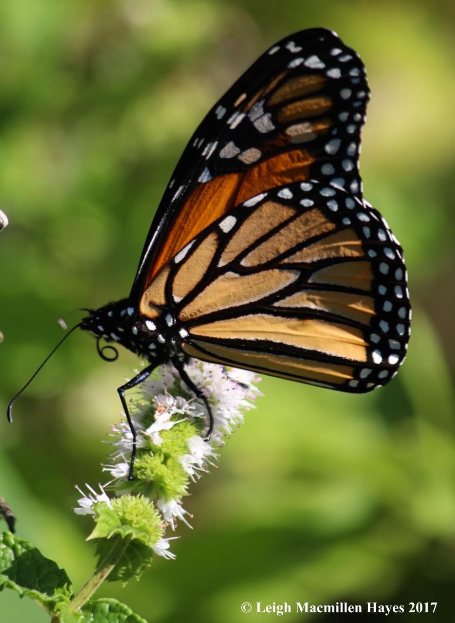 b-monarch probiscus 2