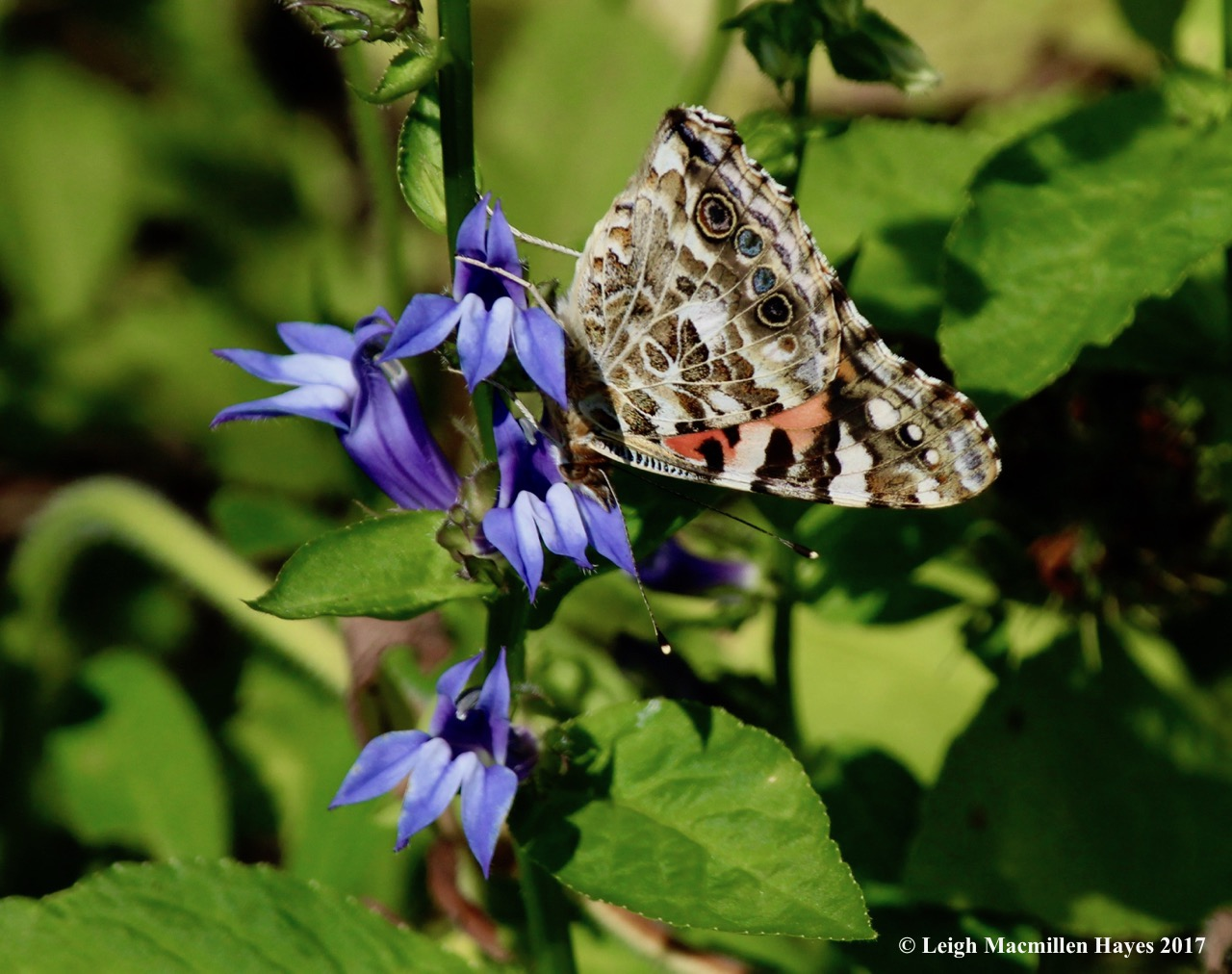 b-painted lady 1