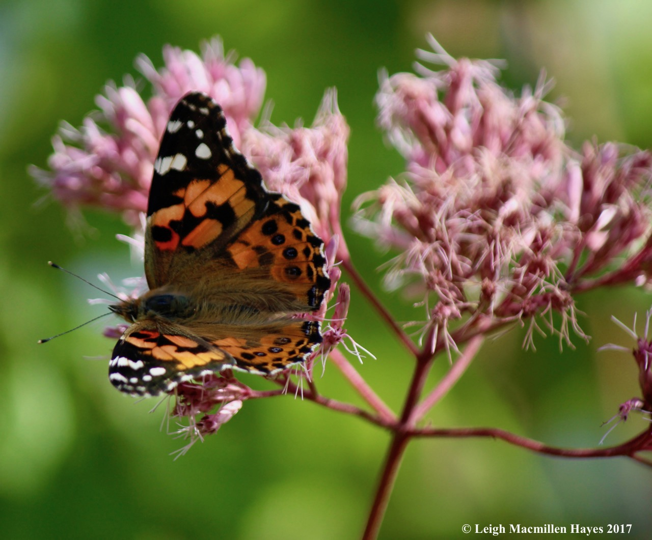 b-painted lady 10