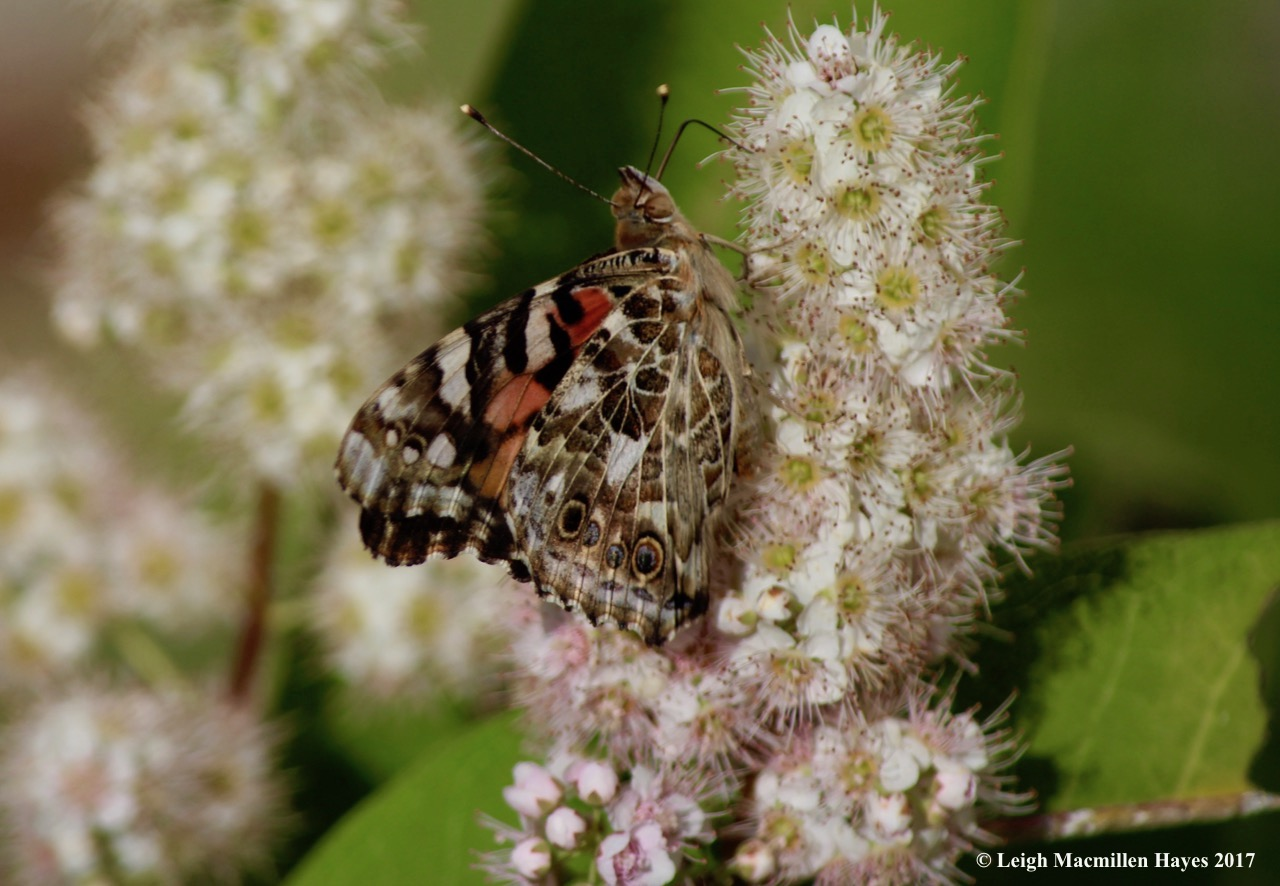 b-painted lady 2