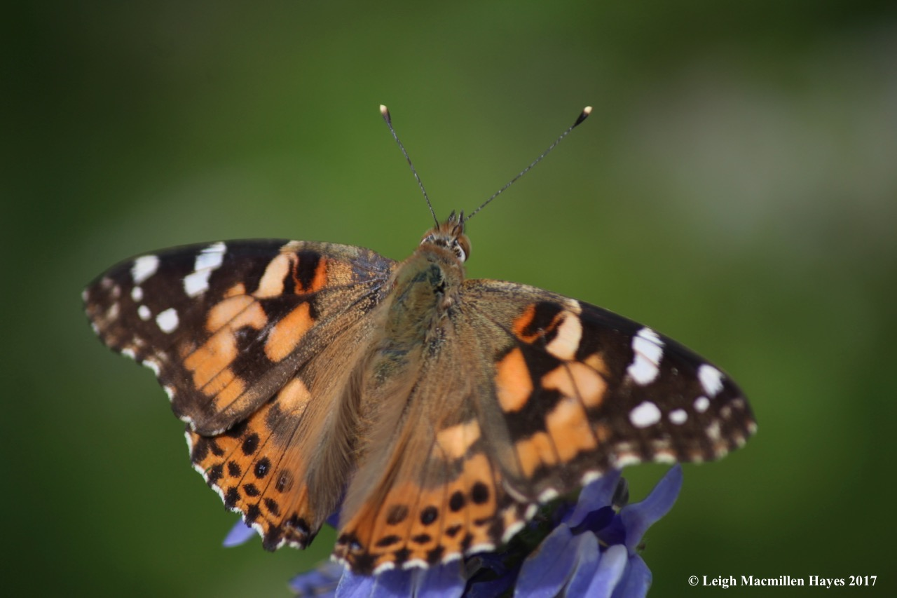 b-painted lady 2a