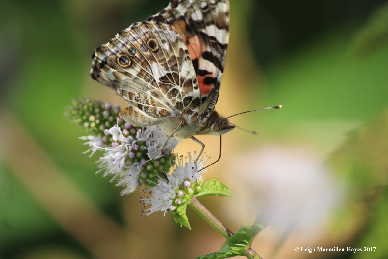 b-painted lady 3