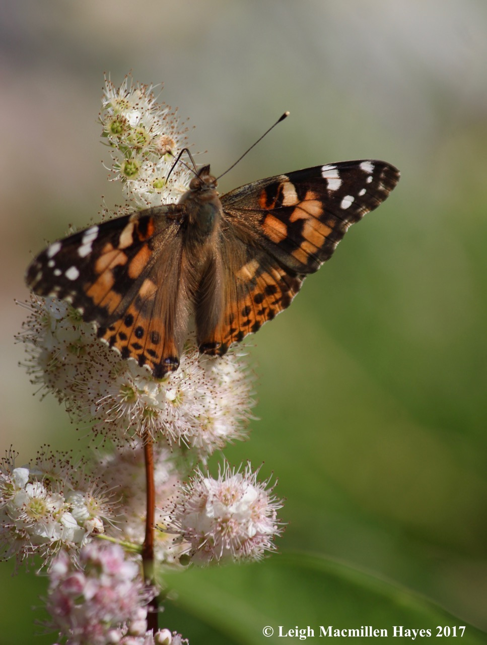b-painted lady 5