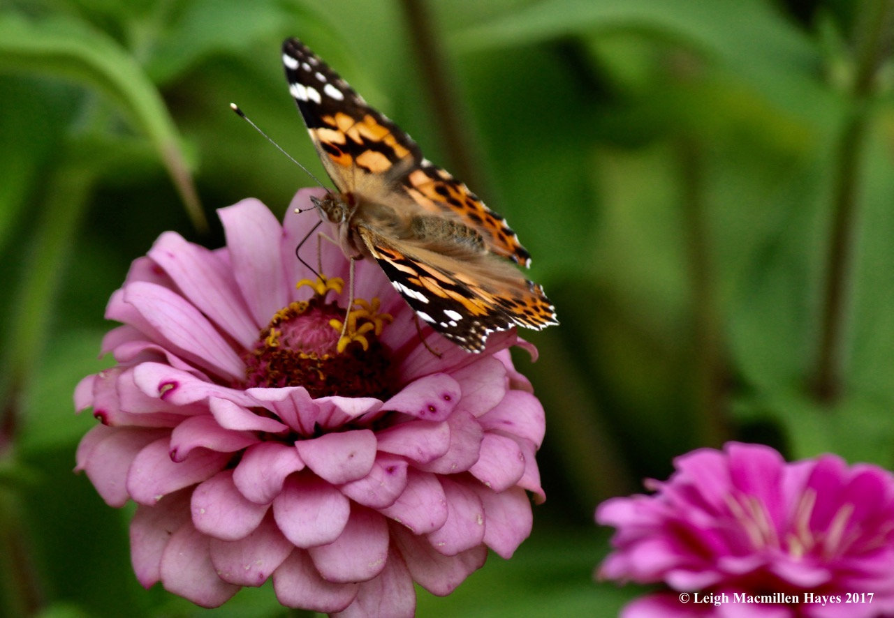 b-painted lady 9