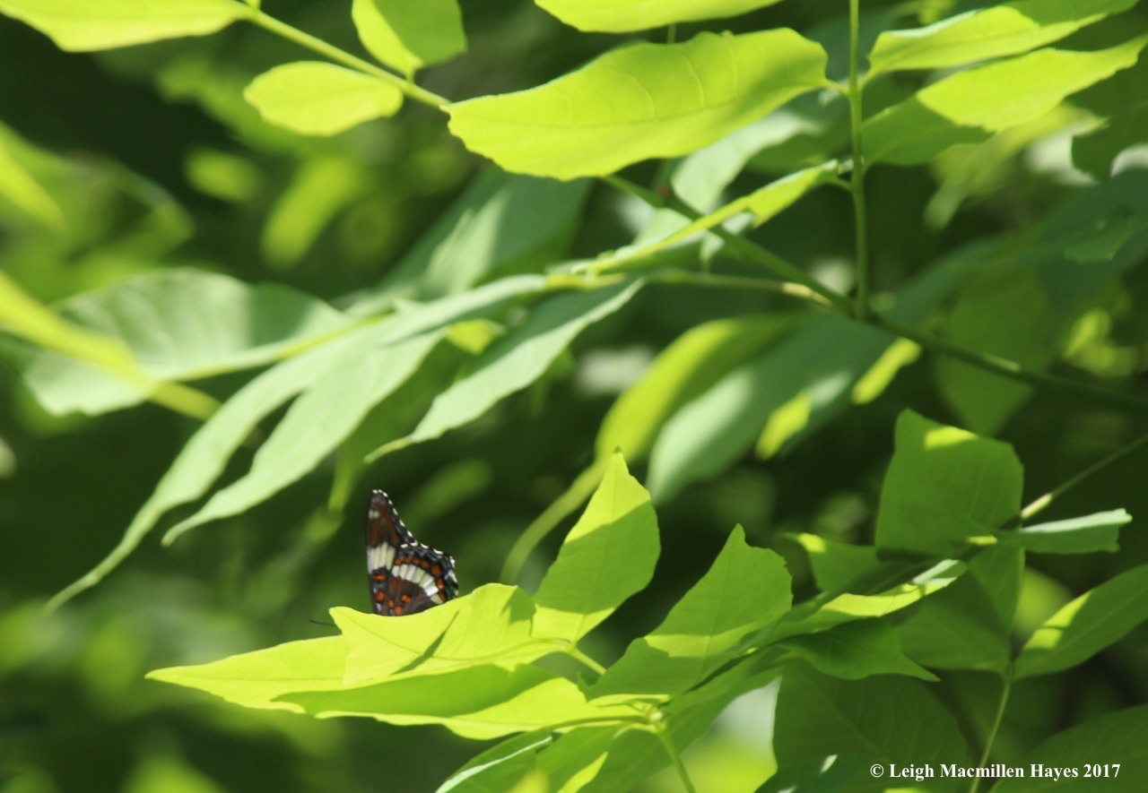 b-white admiral 1