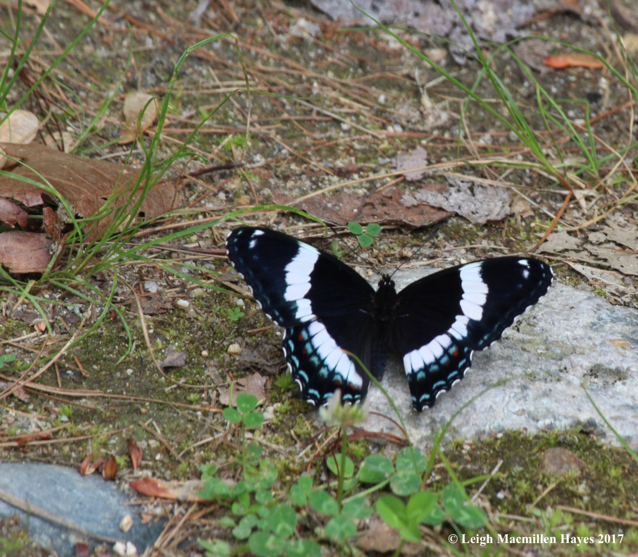 b-white admiral 2