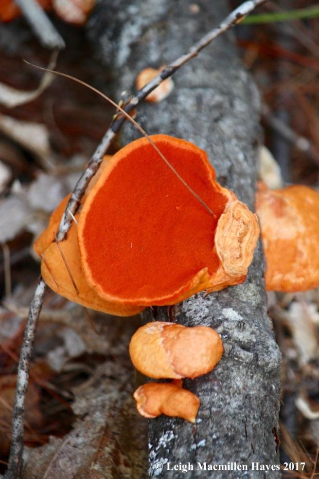 l14-cinnabar-red polypore