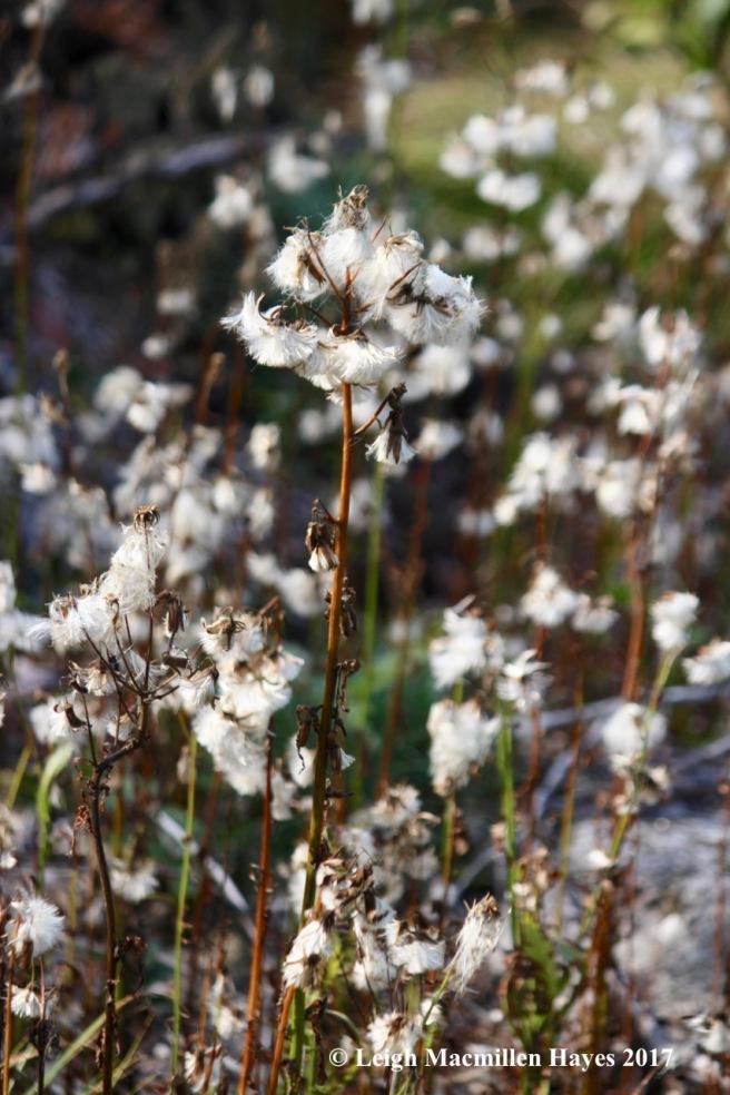 l1a-pilewort field