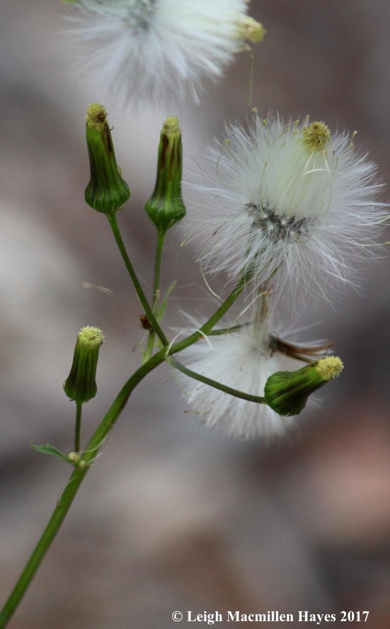 l1c-pilewort seedhead