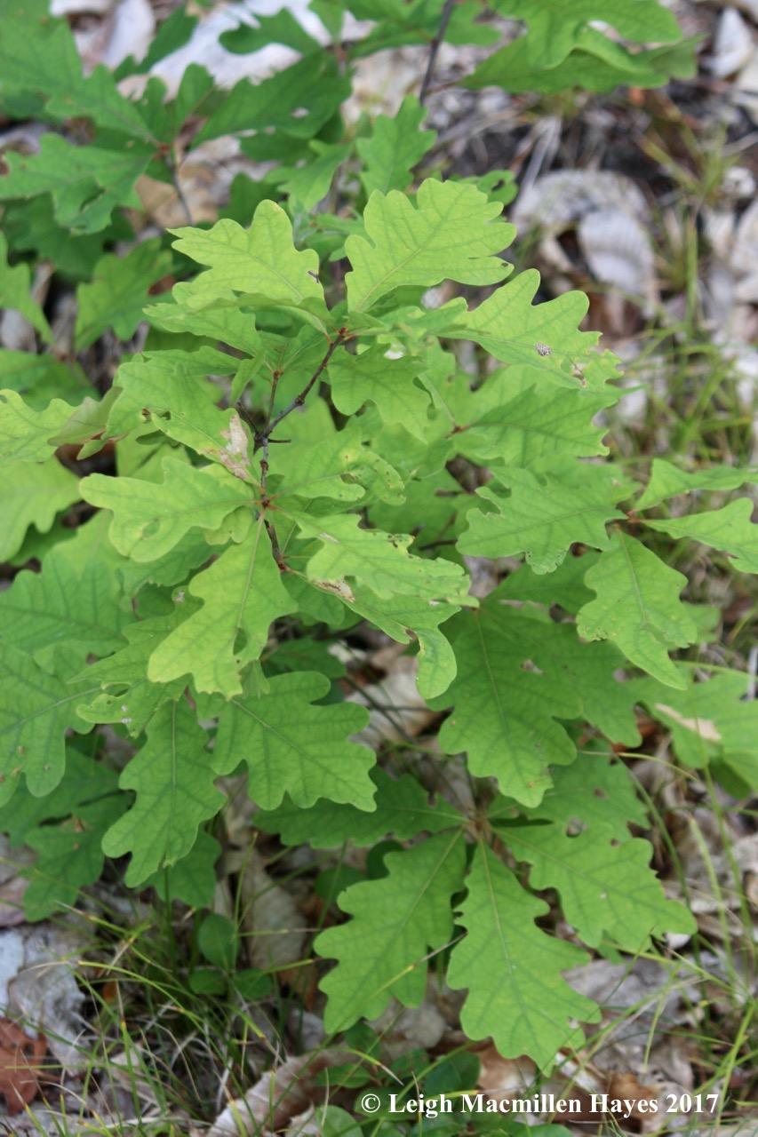 l22-white oak