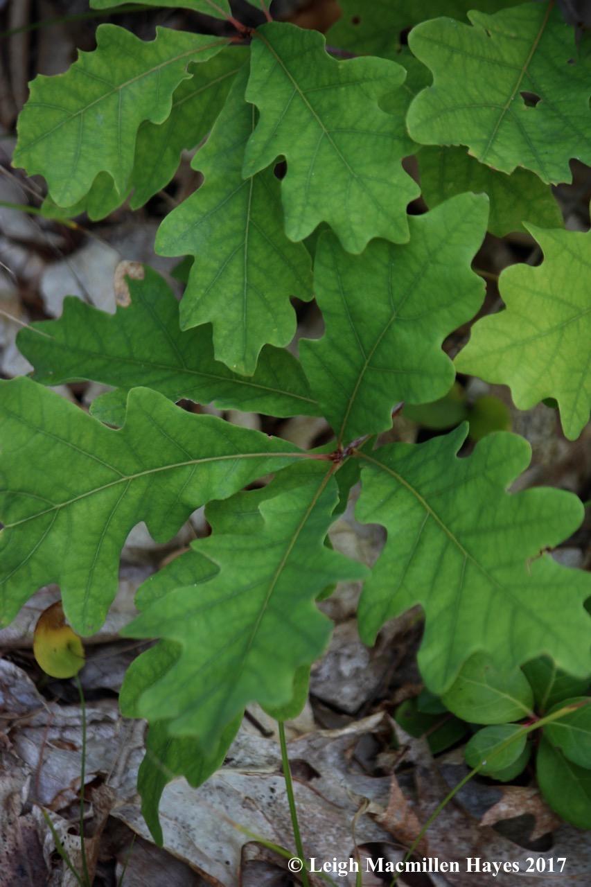 l23--white oak 2